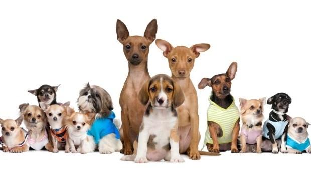 la meilleure race de chien pour vivre en appartement l 39 cho de laval. Black Bedroom Furniture Sets. Home Design Ideas